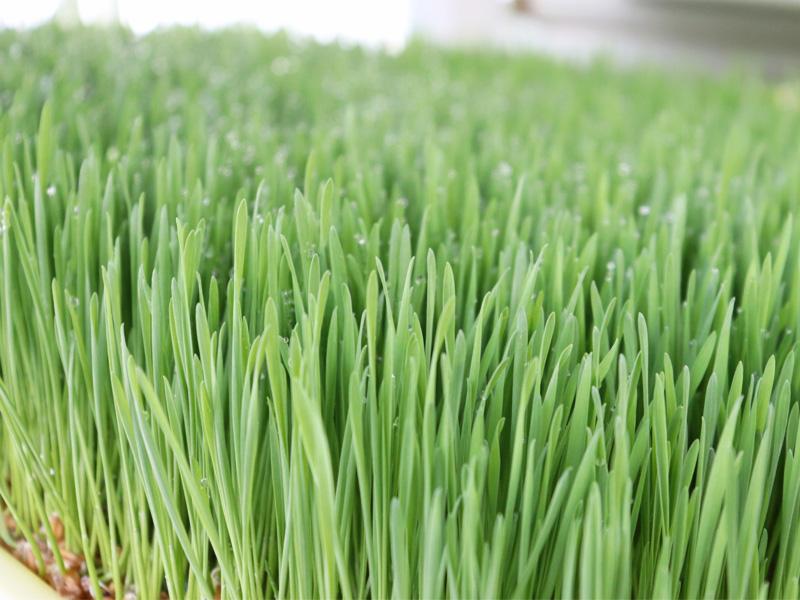 Ocean Grown Farms Wheatgrass